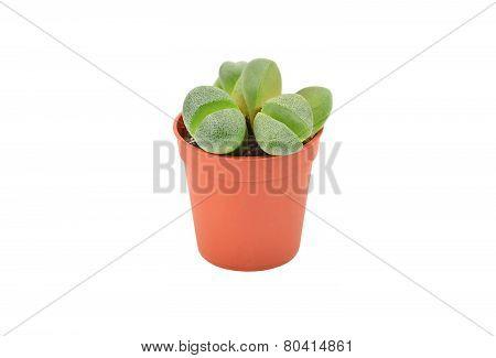 Succulent plant Lithops