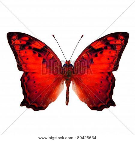 Beautiful Vagrant Butterfly upper wing in fancy red color profile isolated on white background