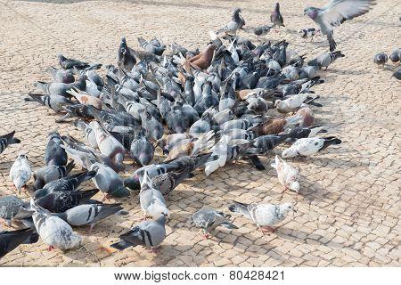 Pigeons frenzy feeding