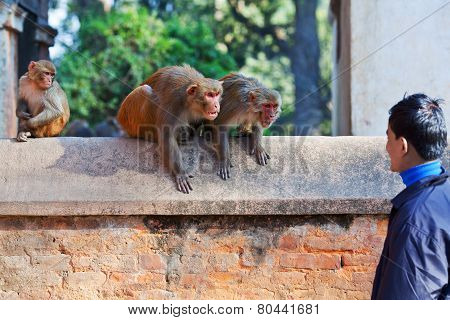 Young Nepalese Man Teasing Monkeys