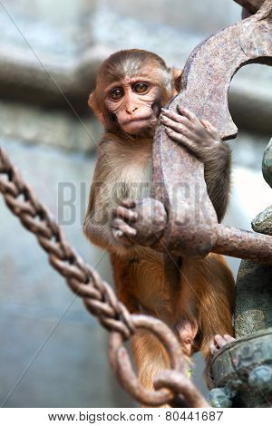 Young rhesus macaque monkey