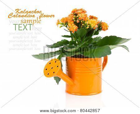 Kalanchoe Flower In A Orange Water-pot