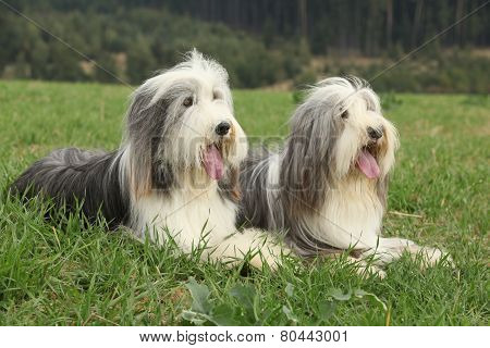 Two Amazing Bearded Collies Lying In The Grass