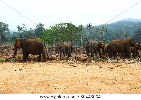 Elephants in elephant nursery, Sri Lanka, Kandy