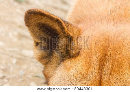 Close Up Of A Dog Ear
