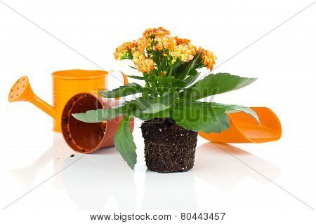 Kalanchoe Calandiva Flowers For Transplantation