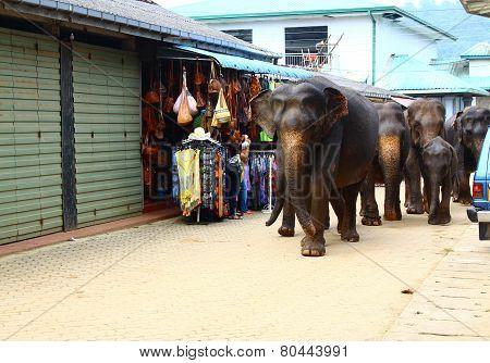 Elephants go with bathing