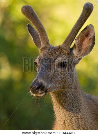 Blacktail Deer Portrait