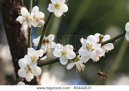Plum flowers and bee