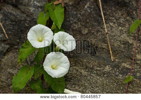 White Convolvulus Flowers