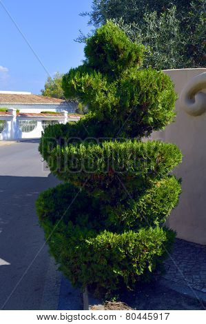 Spiral Topiary conifer in Portugal