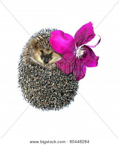 Forest Wild Hedgehog With Flower Of Clematis Isolated