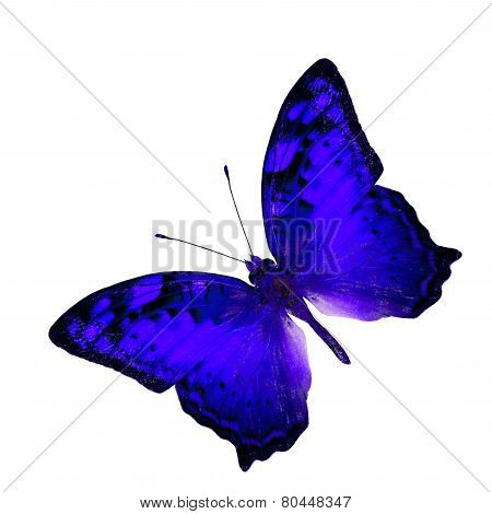 Exotic Flying Dark Blue Butterfly In Fancy Color Profile Isolated On White Background (vagrant Butte