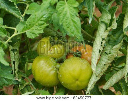 Tomatoes in a kitchen garden