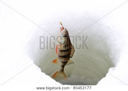 Ice fishing perch using fishing rod and artificial lure