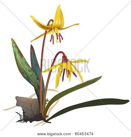 Yellow Trout lily - Erithronium americanum