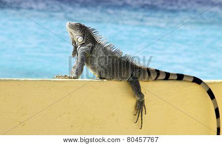 Ocean View Iguana