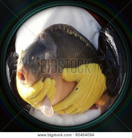 Sale Of Christmas Carps In Objective Lens