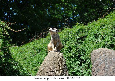 Inspecionando Meerkat