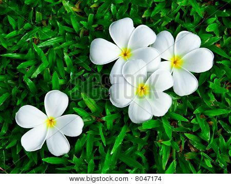 Leelavadee flowers on green grass