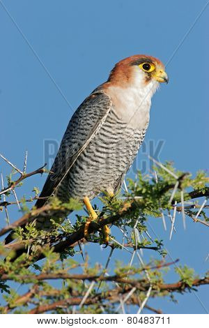 A rednecked falcon (Falco chiquera) perched on a branch, Etosha National Park, Namibia