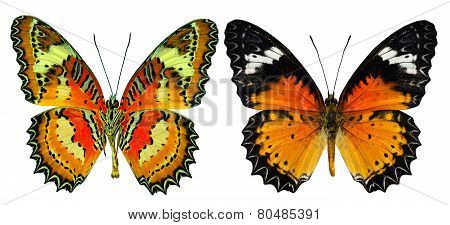 Set Of Malay Lacewing Butterfly Both Upper And Lower Wing Profile In Natural Color Isolated On White