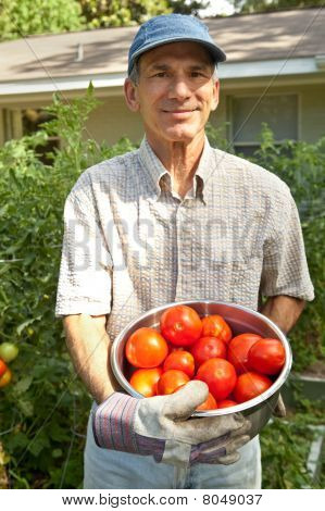 Smiling Man Picking Tomatoes In His Garden.