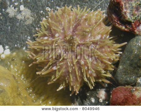 Green Sea Urchin, Strongylocentrotus droebachiensis
