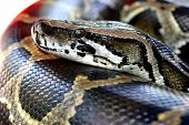 picture of burmese pythons  - close up head shot of a burmese python in a petting zoo - JPG