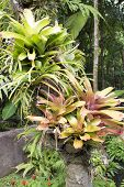 picture of bromeliad  - Bromeliad plants in an ornamental garden in Thailand - JPG