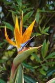 stock photo of bird paradise  - An orange flowering strelitzia plant also called bird of paradise - JPG
