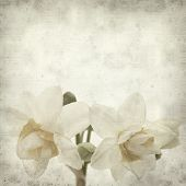 picture of narcissi  - textured old paper background with doule narcissi - JPG