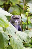 stock photo of monkeys  - Blue monkey or sykes monkey in a tree in Arusha, Tanzania. African monkey.