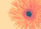 picture of gerbera daisy  - gerbera daisy on a beige background toned with a retro vintage instagram filter effect - JPG