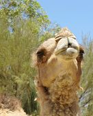 pic of humping  - The facial expression of a camel with one hump in a paddock on a dromedary farm in the desert of Australia - JPG