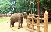 foto of indian elephant  - Indian elephant in elephant nursery in Kandy - JPG
