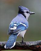 foto of blue jay  - A blue jay  - JPG