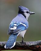 pic of blue jay  - A blue jay  - JPG