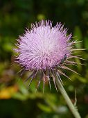 stock photo of welts  - The opening bud of a plume thistle  - JPG
