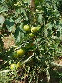 image of tomato plant  - Tomatoes in a tomato plant in an allotment garden in Croatia - JPG