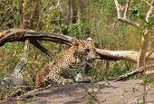 stock photo of leopard  - Sri Lankan Leopard  - JPG
