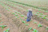 image of tobacco barn  - background of tobacco farm in morning with thai scarecrow - JPG