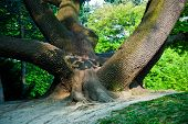 picture of fascinator  - stem of oak trees in fascinating light in a park in Vienna - JPG