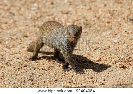 Banded Mongoose Baby Walk Alone Over Sand