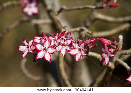 Impala Lily Close-up With Background Out Of Focus