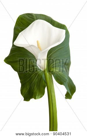 White Flower Calla