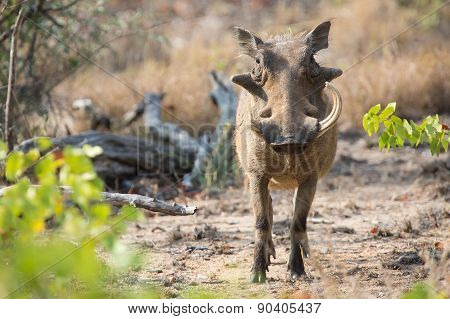 Warthog With One Broken Teeth Walking Among Short Grass