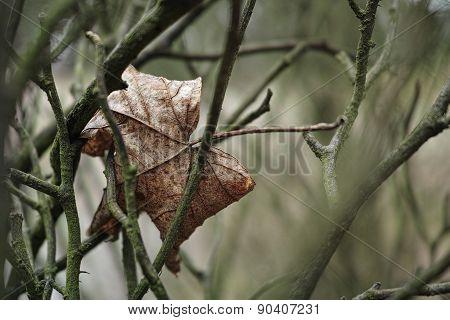 sadly hanging dry leaf