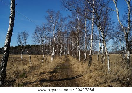 Path lined with birch trees