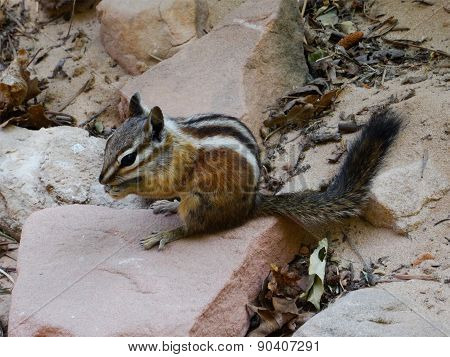 Least chipmunk (Tamias minimus) eating and sitting on a stone